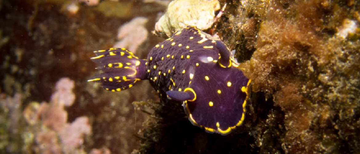 Nudibranch, Azores