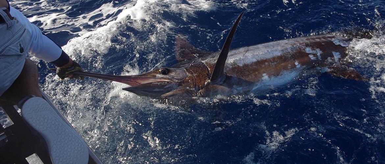 Captura do peixe Marlin, Açores