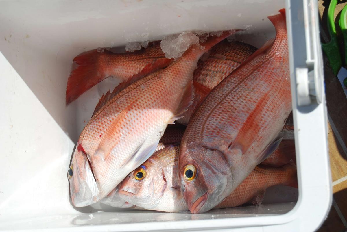 Pargos capturados na saída de pesca Go Fishing III